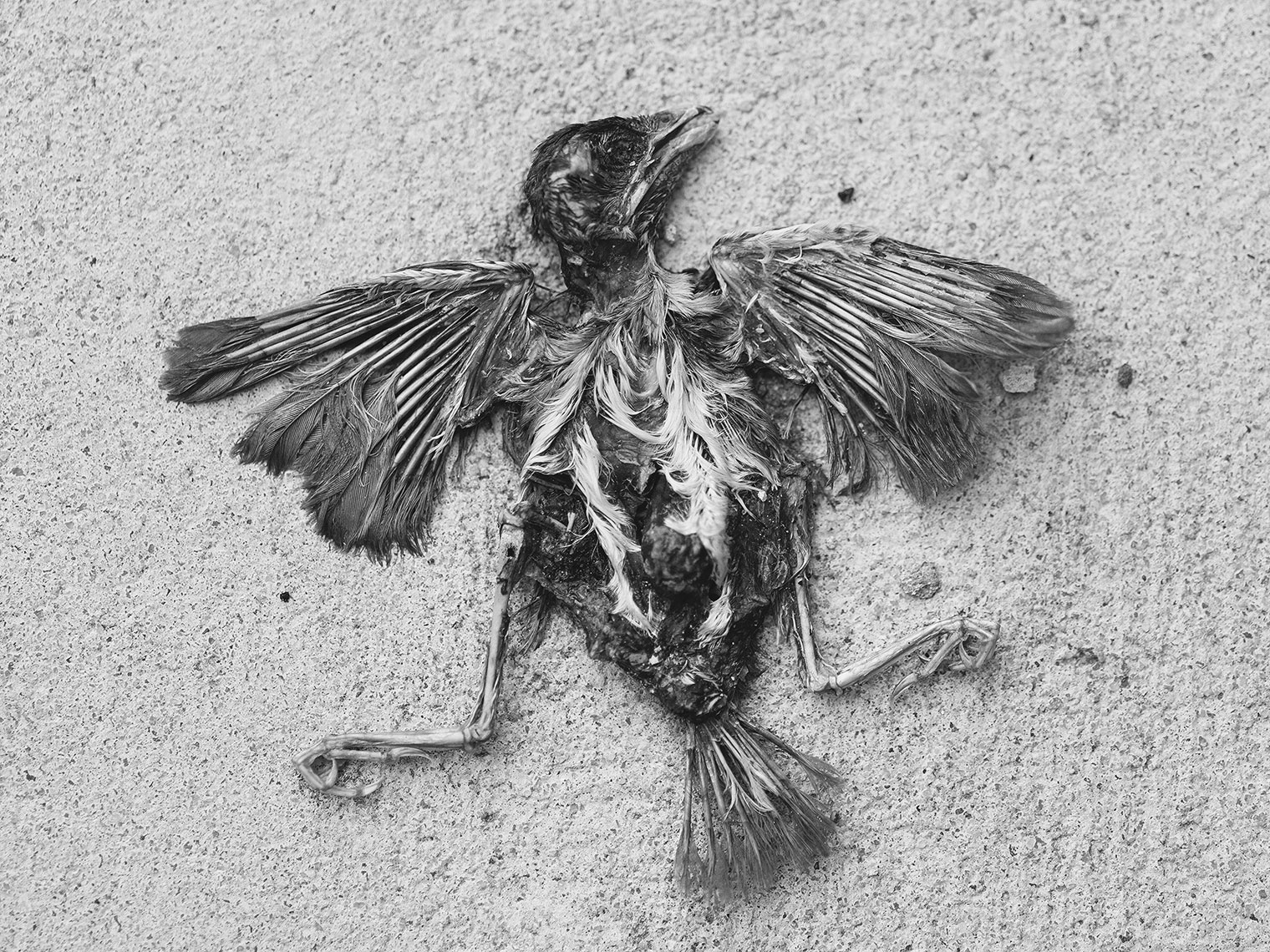 dead bird internal view